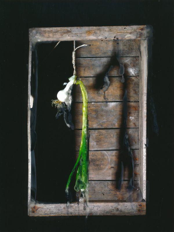 Suicide spring onion black